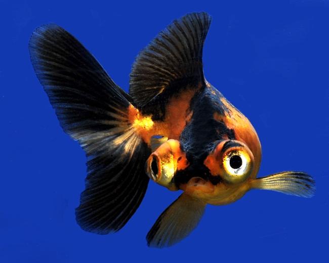черно-золотая рыбка телескоп с сильно выпуклыми глазами