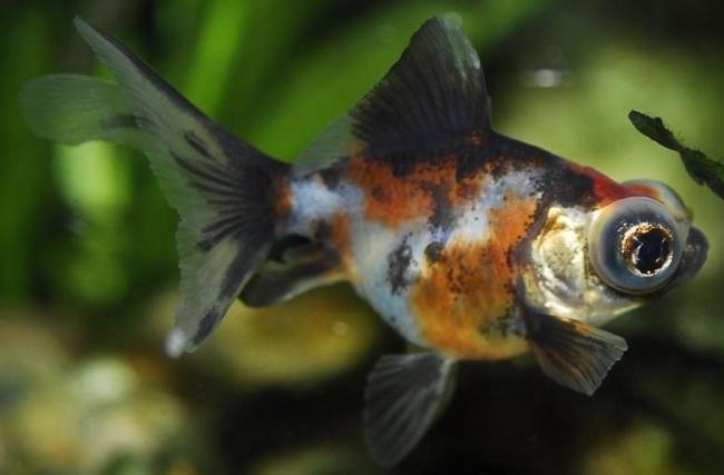 ситцевая рыбка телескоп