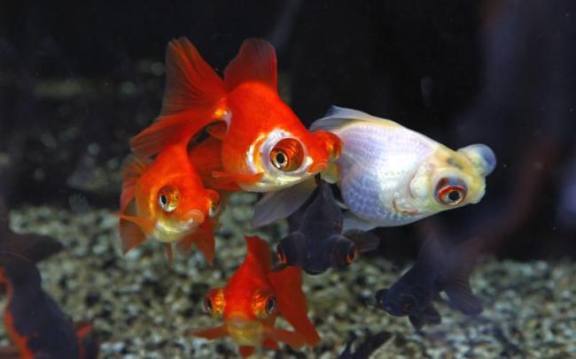 белая и красные рыбки телескопы