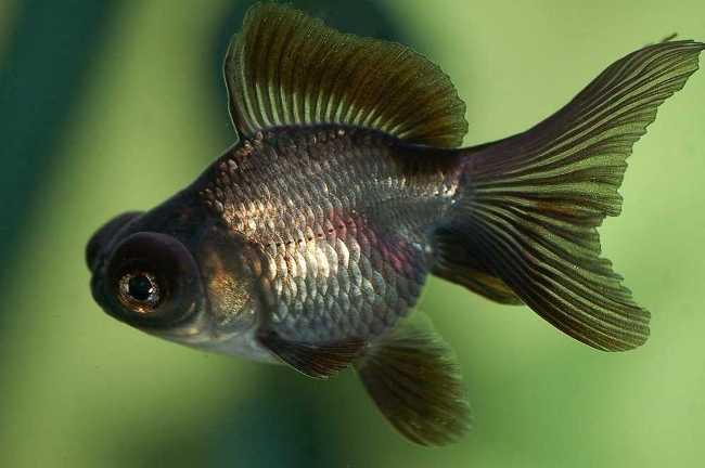 золотая рыбка телескоп черного цвета