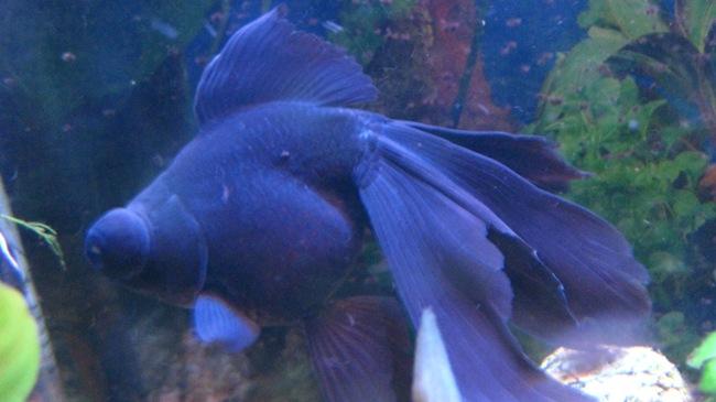 золотая рыбка телескоп черного цвета плавает в аквариуме
