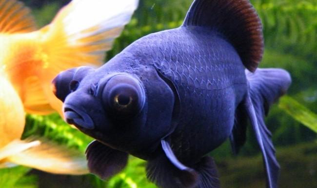 золотая рыбка телескоп черной окраски в аквариуме