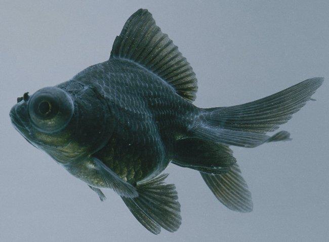 золотая рыбка телескоп черного цвета с сильно выпуклыми глазами