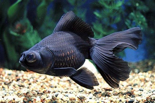 рыбка телескоп черного цвета плавает у дна аквариума