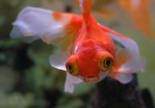 красно-белая рыбка телескоп