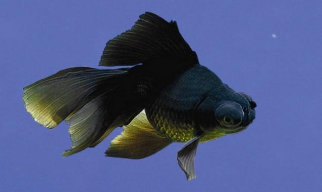 рыбка телескоп с сильно выпуклыми глазами черно-золотой окраски