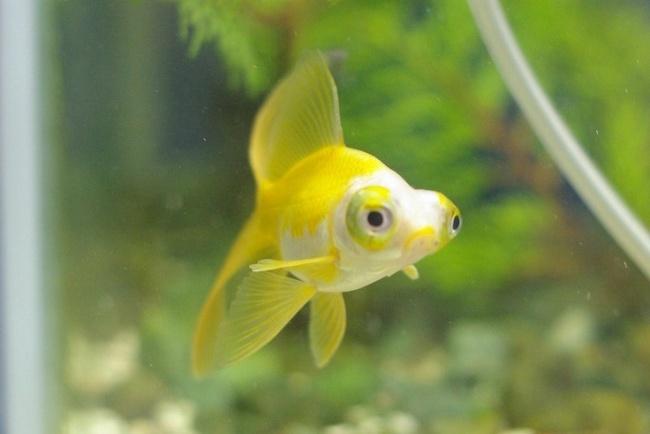 бело-желтая рыбка телескоп