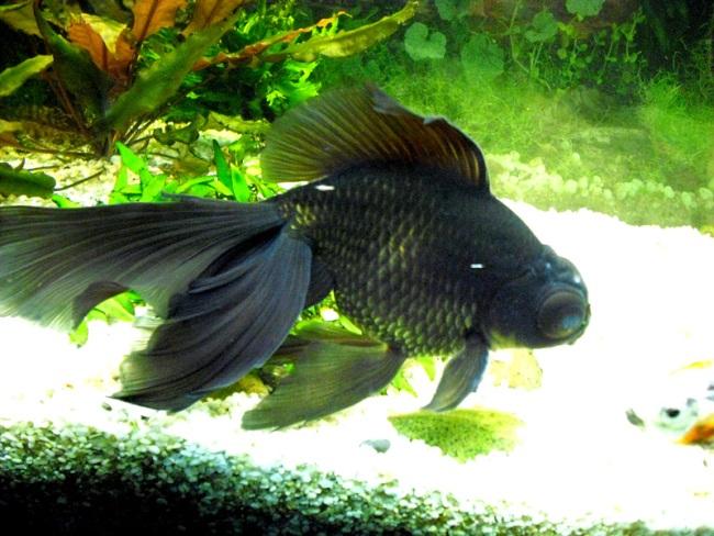 золотая рыбка телескоп черной окраски плавает в аквариуме