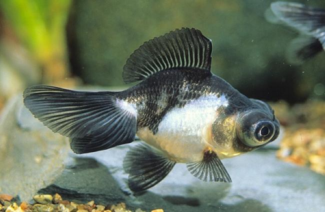 черно-белая рыбка телескоп плавает у дна аквариума