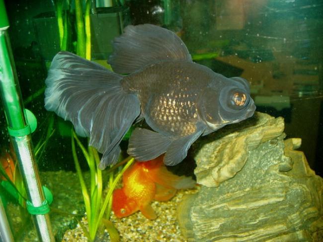 черная рыбка телескоп в общем аквариуме