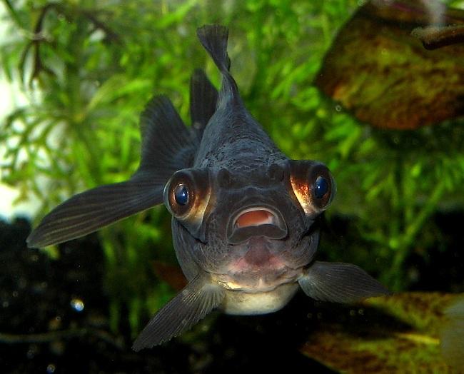 золотая рыбка телескоп черной окраски с сильно выпуклыми глазами