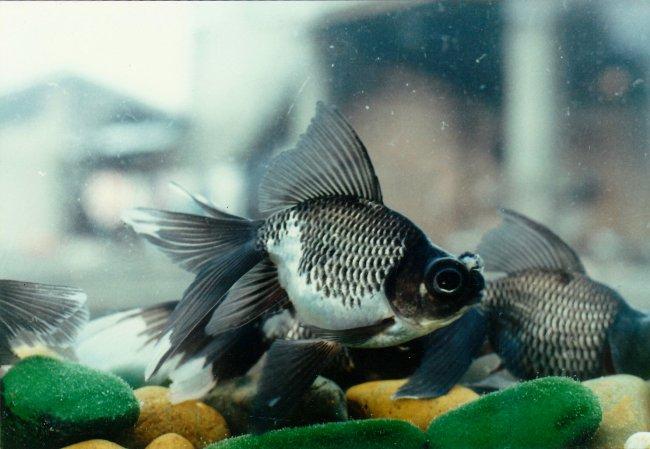 рыбка телескоп черно-белой окраски плавает у дна аквариума