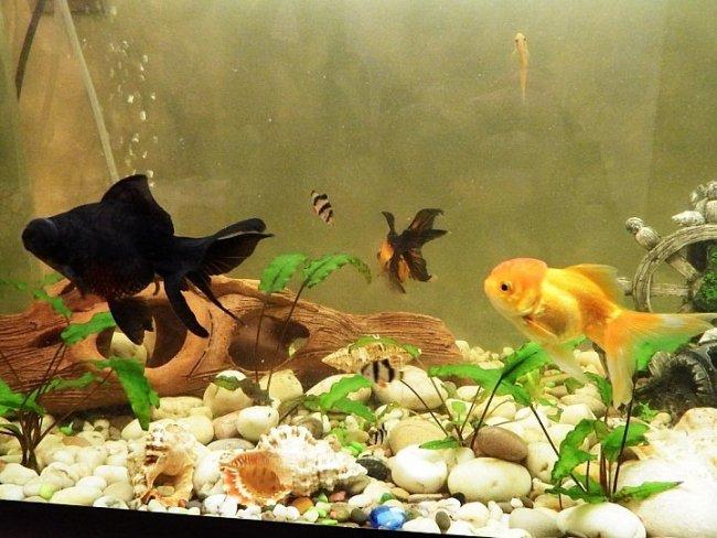 аквариум с рыбкой телескоп