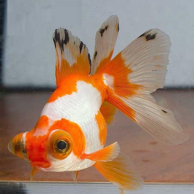 рыбка телескоп с сильно выпуклыми глазами бело-оранжевой окраски