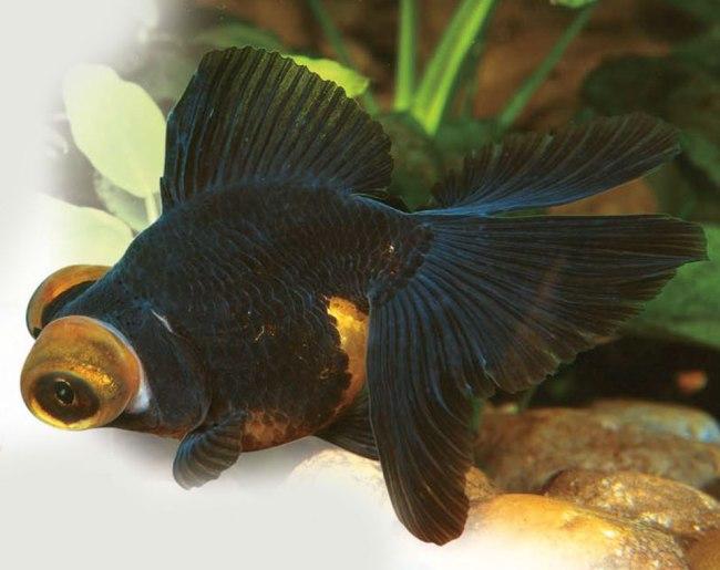 рыбка телескоп с сильно выпуклыми глазами черно-золотого цвета