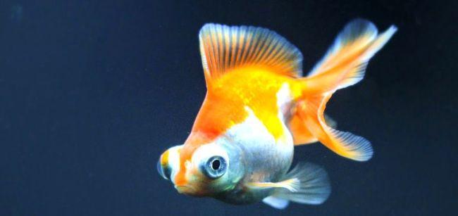 рыбка телескоп бело-оранжевого цвета с сильно выпуклыми глазами
