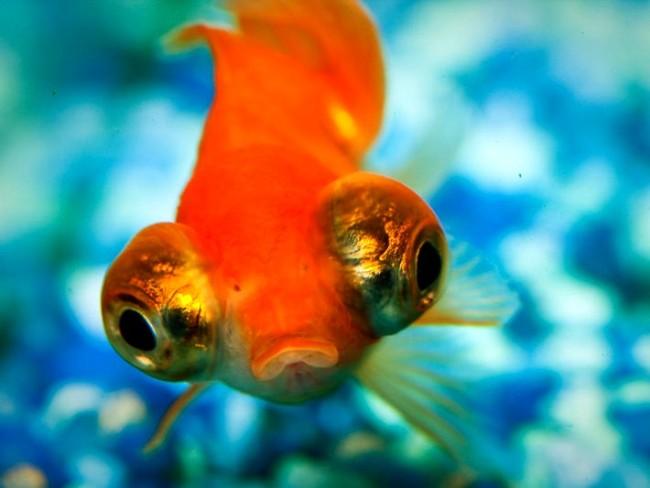 рыбка телескоп с сильно выпуклыми глазами красной окраски