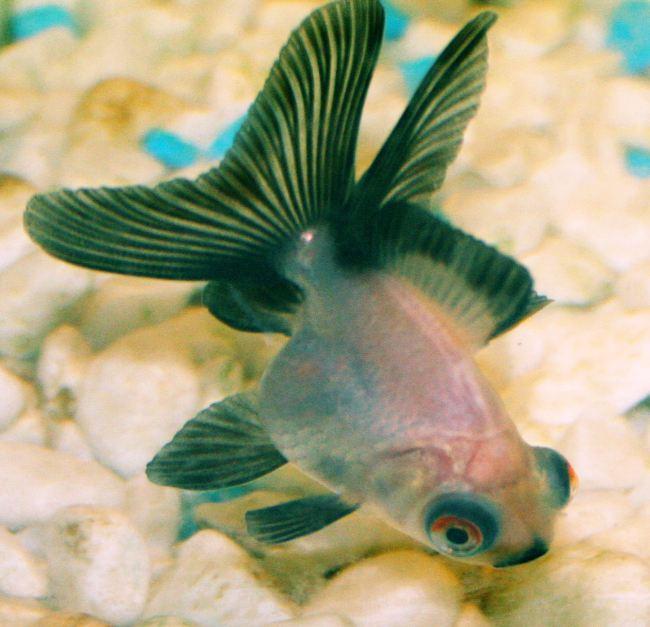 рыбка телескоп у дна в аквариуме