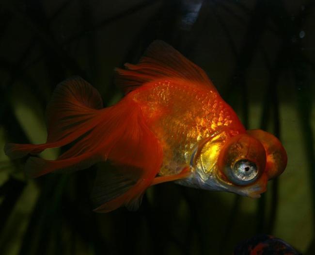 золотая рыбка телескоп плавает в аквариуме