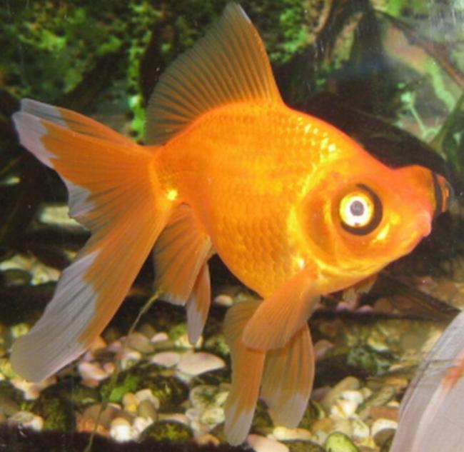 золотая рыбка телескоп с сильно выпуклыми глазами в аквариуме