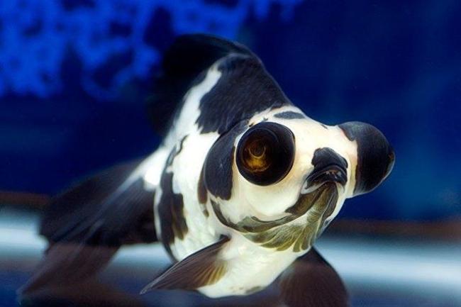 рыбка телескоп окраски панда