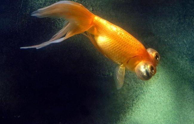 золотая рыбка телескоп с сильно выпуклыми глазами плавает в аквариуме