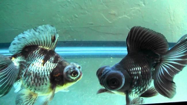 рыбки телескопы в аквариуме