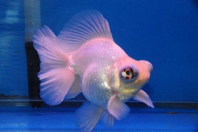 бело-розовая рыбка телескоп