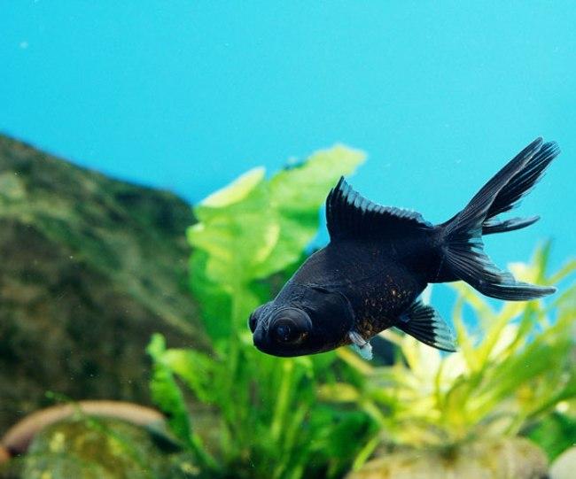 рыбка телескоп черного цвета на фоне растений в аквариуме