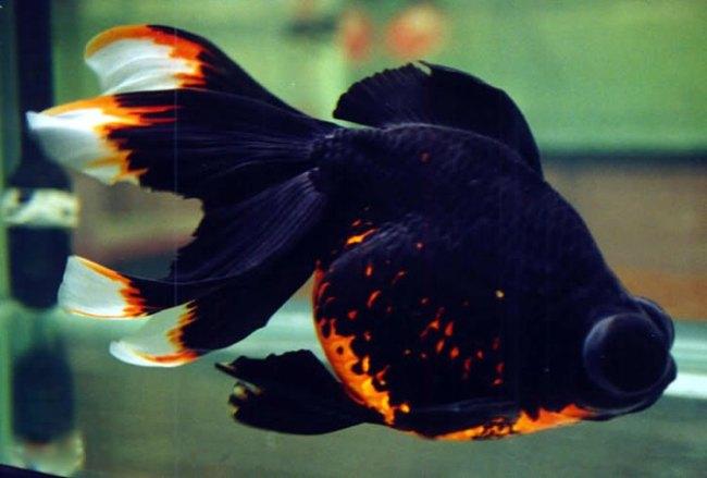 рыбка телескоп черно-золотого цвета плавает в аквариуме