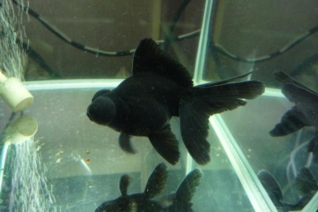 рыбка телескоп черного окраса