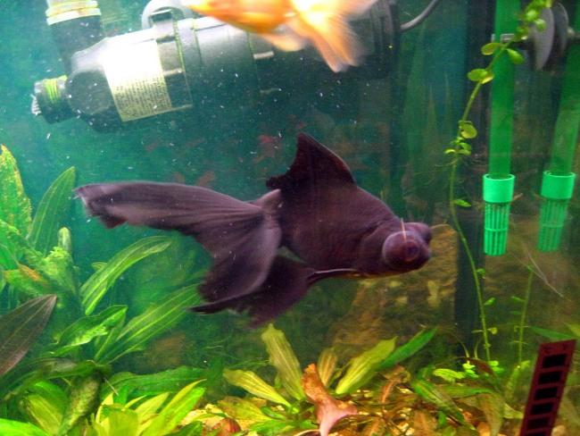 рыбка телескоп черного окраса плавает в аквариуме