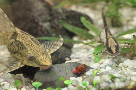 панамская стурисома плавает среди растений в аквариуме
