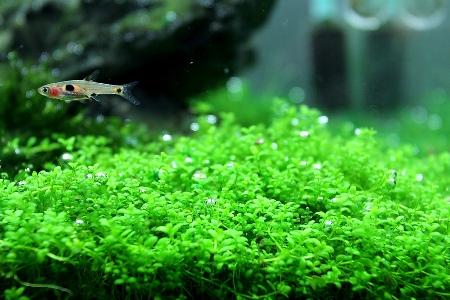 аквариум с рыбками и Хемиантусом куба