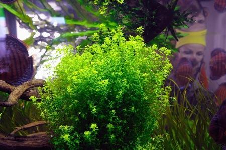 микрантемум малоцветковый в аквариуме