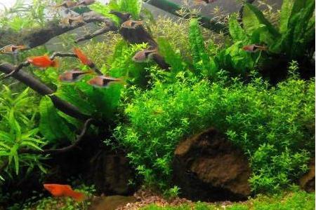 микрантемум малоцветковый в аквариуме с рыбками