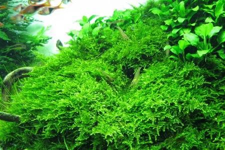 рождественский мох в аквариуме с рыбками