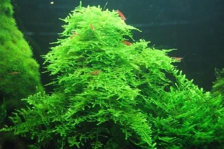 аквариум с креветками и рождественским мхом