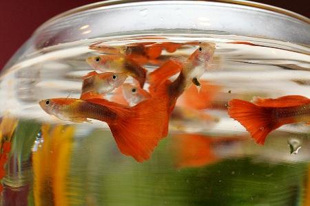 рыбки плавают у поверхности аквариума