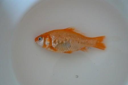осмотр мертвой аквариумной рыбки