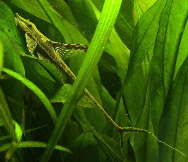 лорикариевый сомик панамская стурисома плавает среди растений в аквариуме