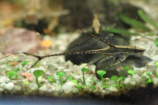 лорикариевый сом стурисома панамская в аквариуме
