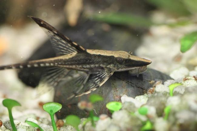 лорикариевый сомик панамская стурисома в аквариуме