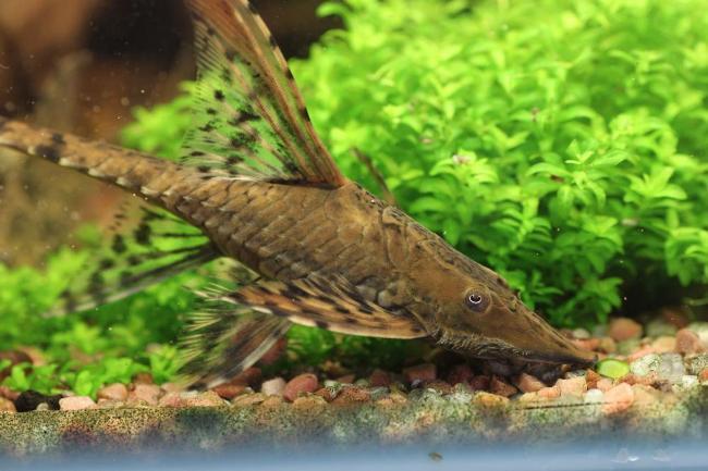 рыбка стурисома панамская
