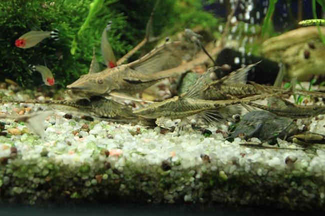 стурисомы панамские с другими рыбками в аквариуме