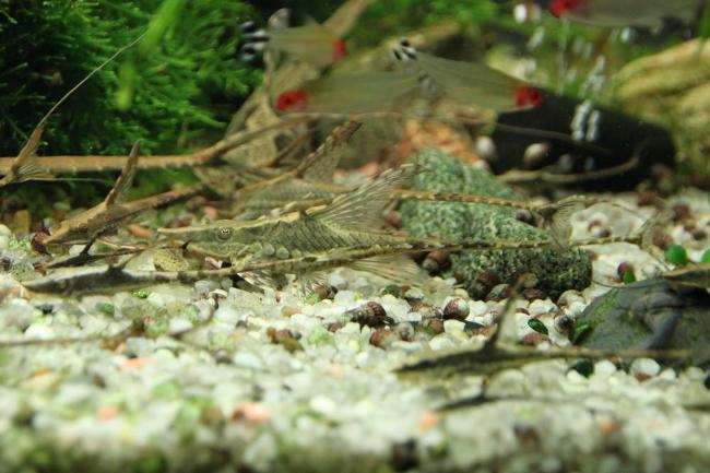 сомы стурисомы панамские в аквариуме с другими рыбками