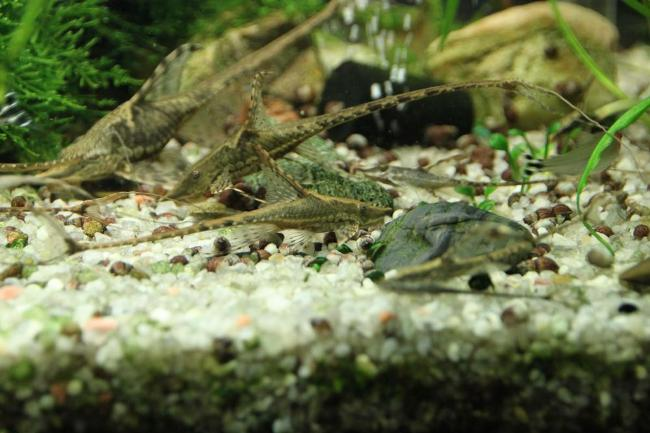 панамские стурисомы в аквариуме