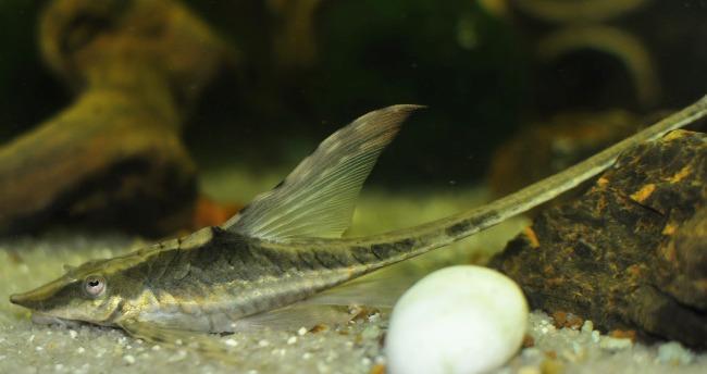 рыбка стурисома панамская в аквариуме