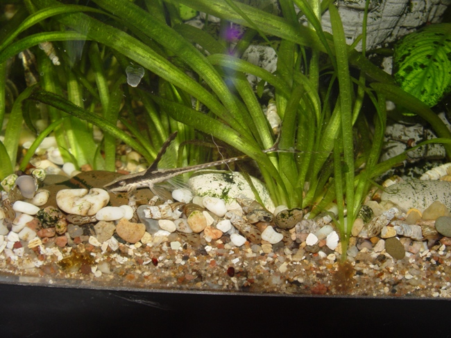 кольчужный сом панамская стурисома в аквариуме