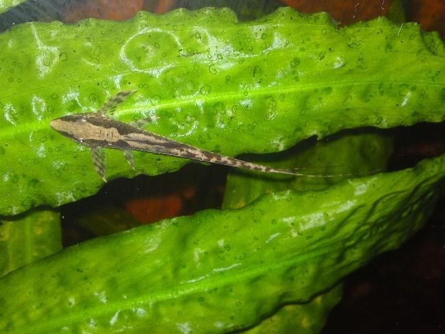 рыбка панамская стурисома плавает в аквариуме